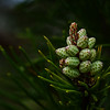 """Conifer Cones"""