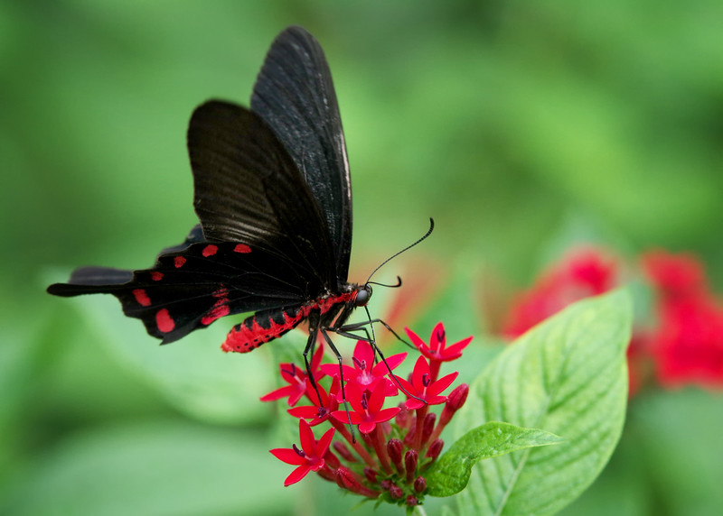 Batwing Butterfly<br /> Fairchild Tropical Botanic Garden<br /> Coral Gables, FL