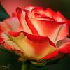 Rose Day Special .... !! Taken @ Eco Tourism Park - Kolkata - Dec 2013