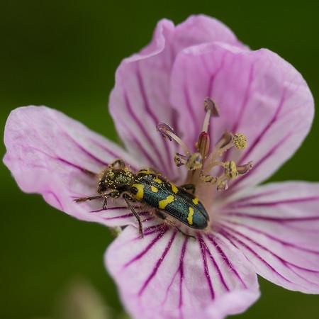 Pollen Eater
