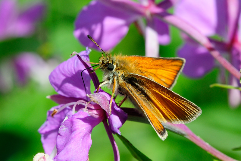 Skipper on Fireweed 01