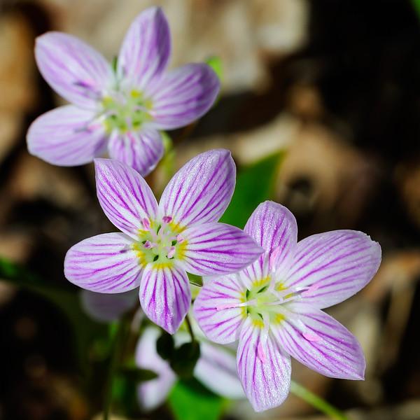 Spring Beauties 02