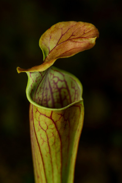 """Green Pitcher Plant"""