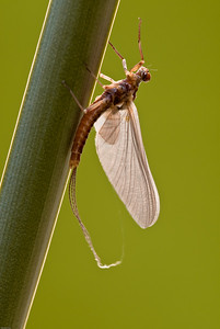 Ephemerela subvaria, the Dark Hendrickson Mayfly, iconic of North American fly fishing