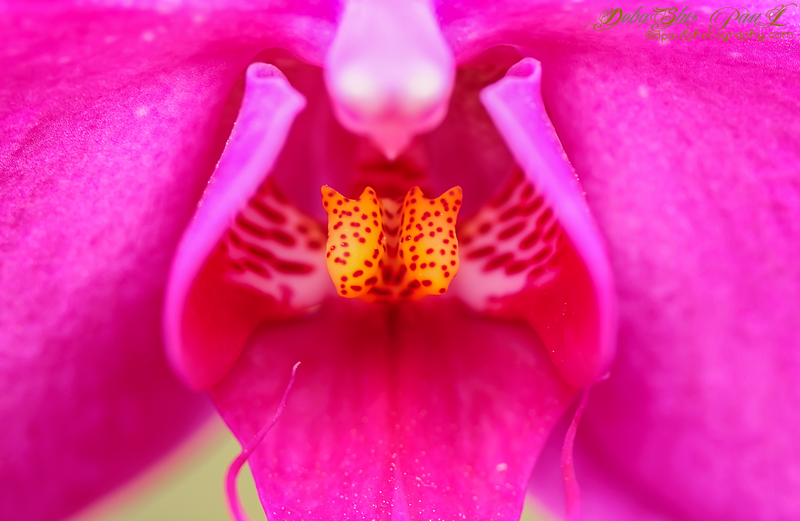 Pinky Orchid :-) @ Atlanta Botanical Garden , Georgia - USA