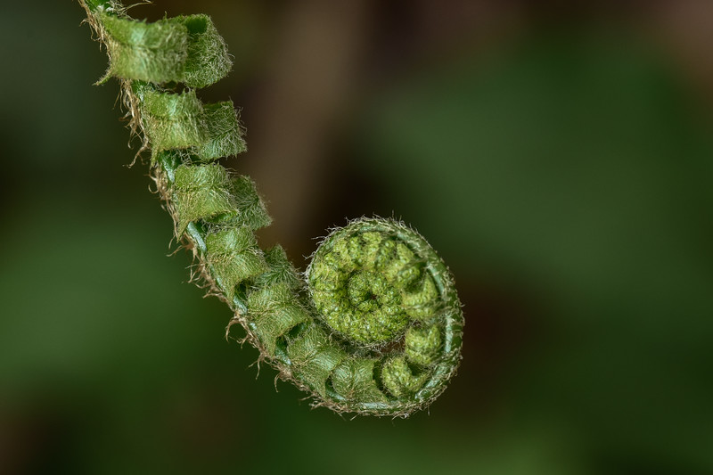 """Fiddlehead Fern"""