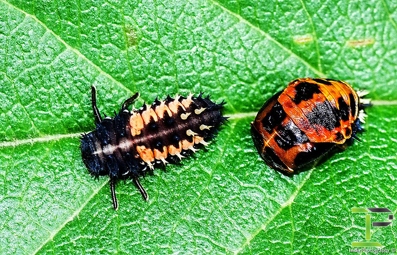 Larvae Stage One (left) and Larve Stage Two (right)