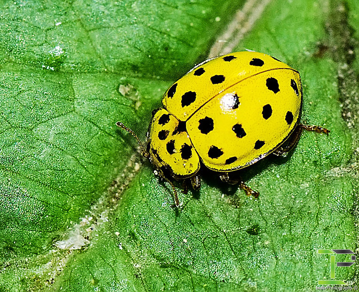 22 Spotted Lady Beetle