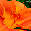 """Orange Daylily"" - the color of Passion, my favorite as always ...  — at Gibbs Garden, Ballground , Georgia - USA"