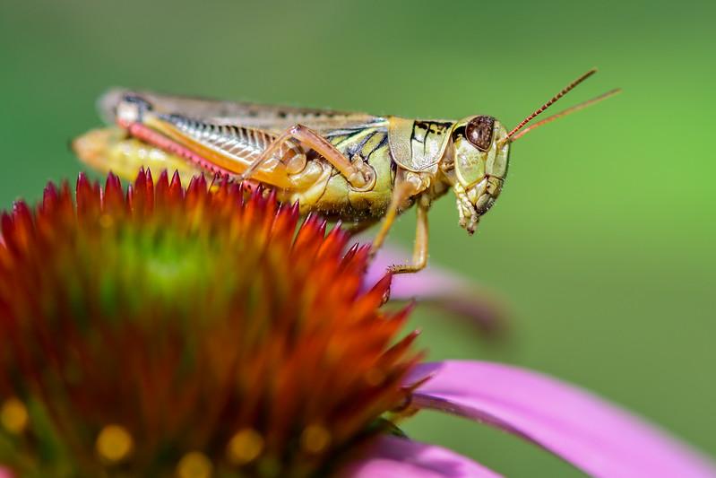 Grasshopper observing the solar eclipse