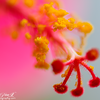 Hibiscus rosa-sinensis at my hometown Apartment Garden - Dum Dum, Kolkata -  India