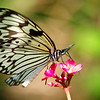 Paper Kite Butterfly<br /> Fairchild Tropical Botanic Garden<br /> Coral Gables, FL