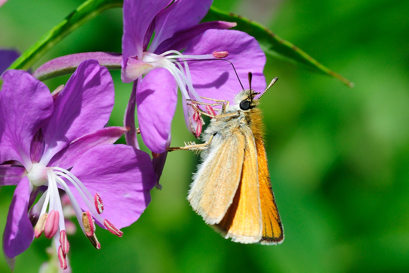 Skipper on Fireweed 02