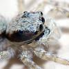 jumper spider taken in Miami Florida.
