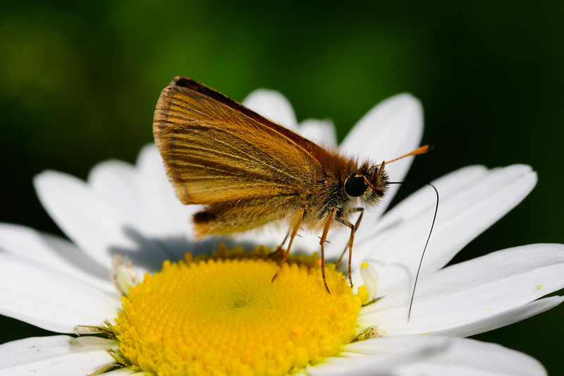 Skipper on daisy