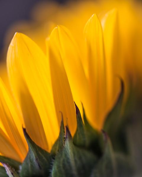 Soft Light Sunflower