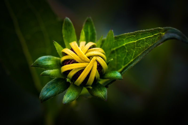 Blackeyed Susan Bud