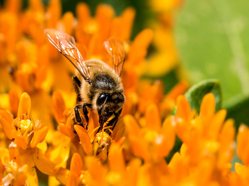 Honey Bee on Orange Butterfly Milkweed