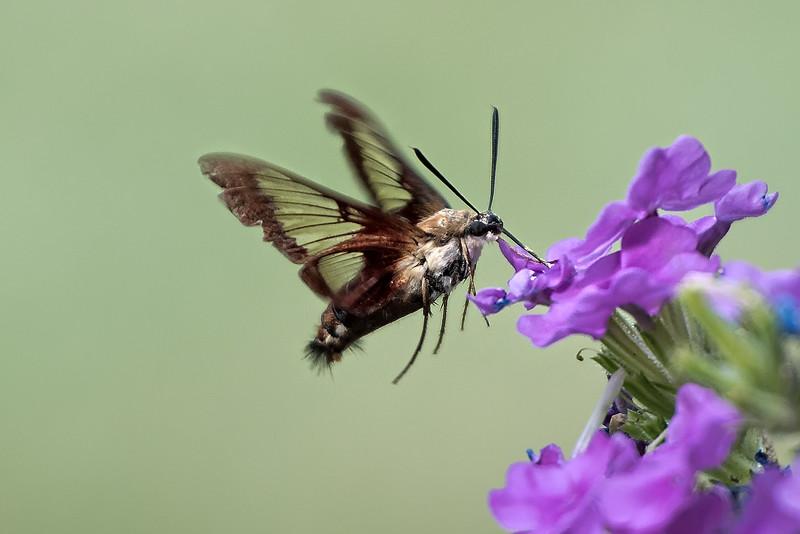 Hummingbird Moth Feeding
