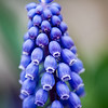 Grape Hyacinth Macro