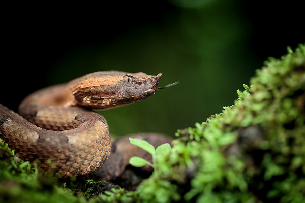 Rainforest Hognosed Pitviper
