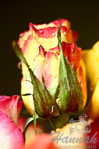 Red yellow rose with water droplets  © Copyright Hannah Pastrana Prieto