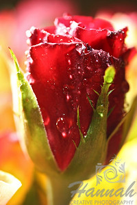 Single Red Rose with Water Droplets side view and backlighting  © Copyright Hannah Pastrana Prieto