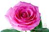 Close-up of a Pink Rose