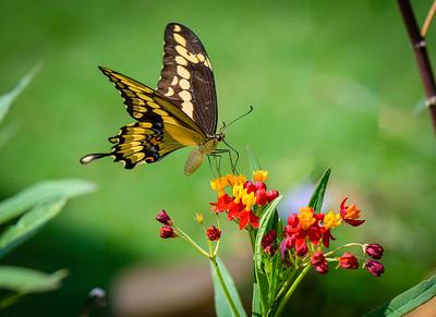 Swallowtail and Milkweeds