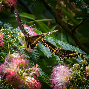Swallowtail and Mimosa Tree