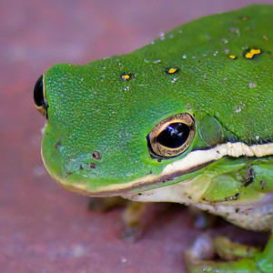 Tree Frog Up-Close