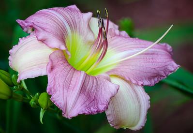 Lavender Sally Daylily