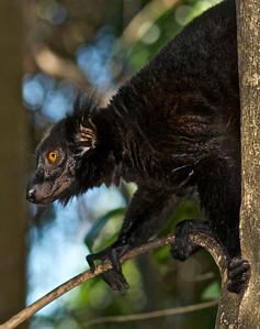 Black Lemur (E.macaco)