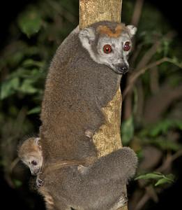 Female Crowned Lemur with baby (E.coronatus)