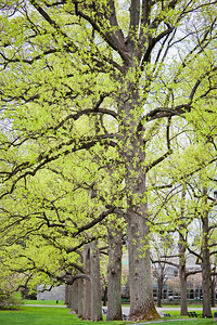 Tulip Tree Allee