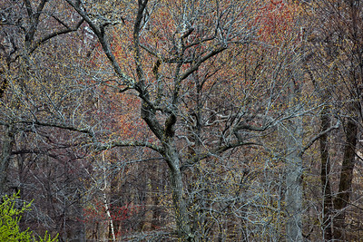 Sweetgum and Red Maple