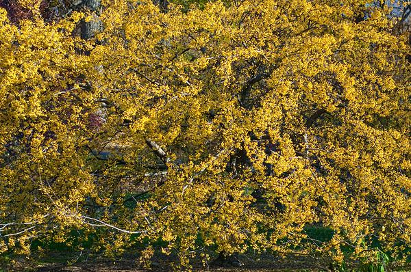 Crabapple harvest gold
