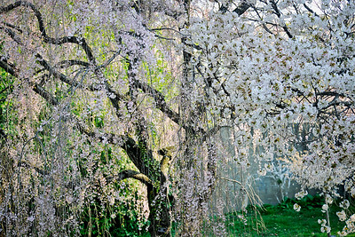 Weeping Japanese Cherry