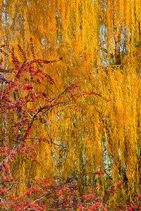 Weeping Willow and Crabapple
