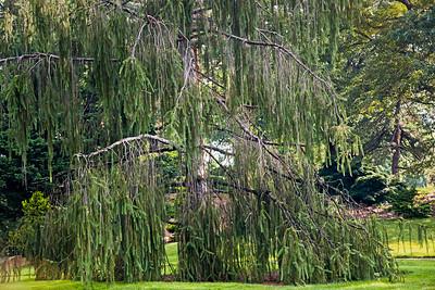 Snake-branch Spruce