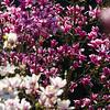 Magnolienblüte Wilhelma Stuttgart