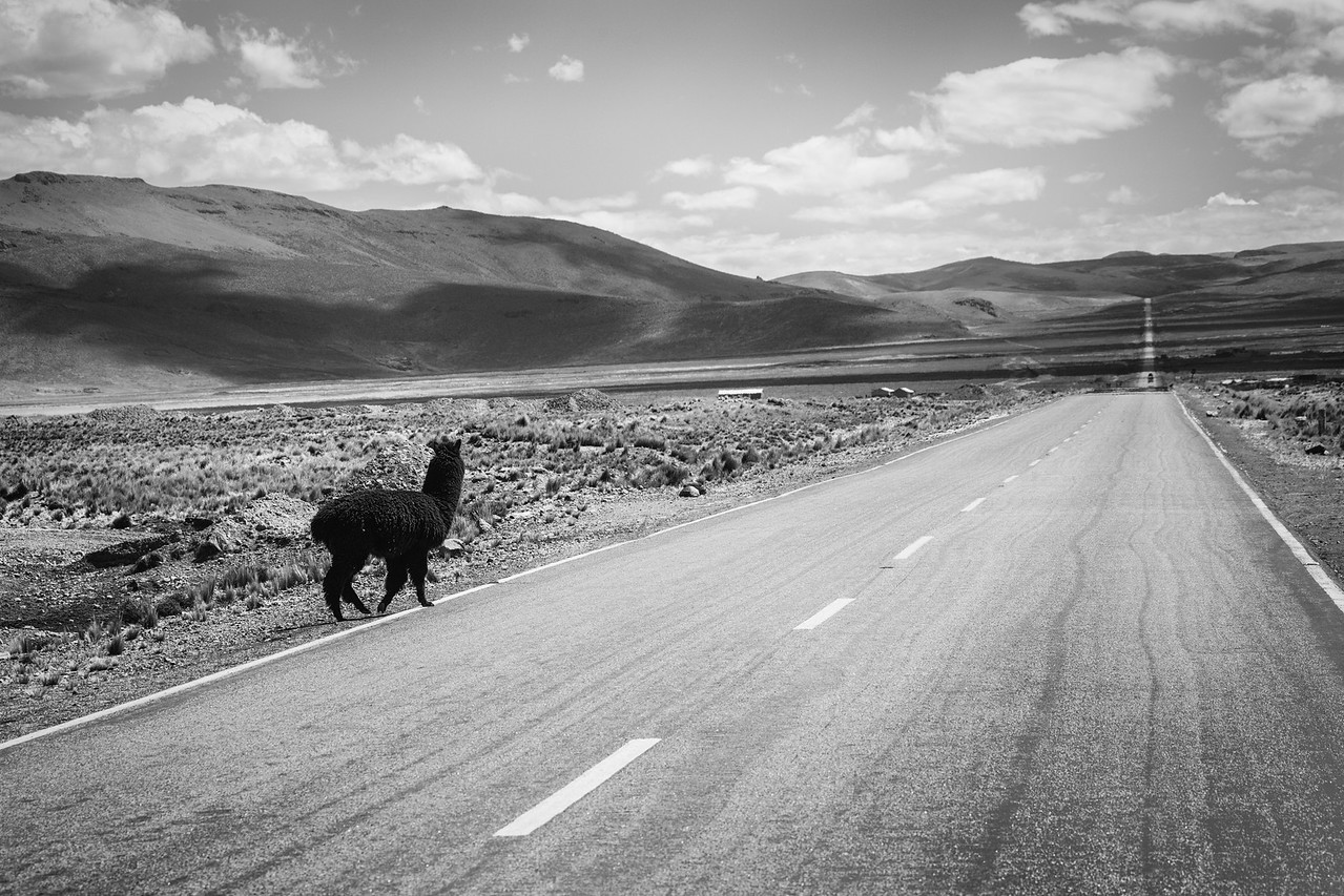 Why did the llama cross the road? You'll have to ask the llama...