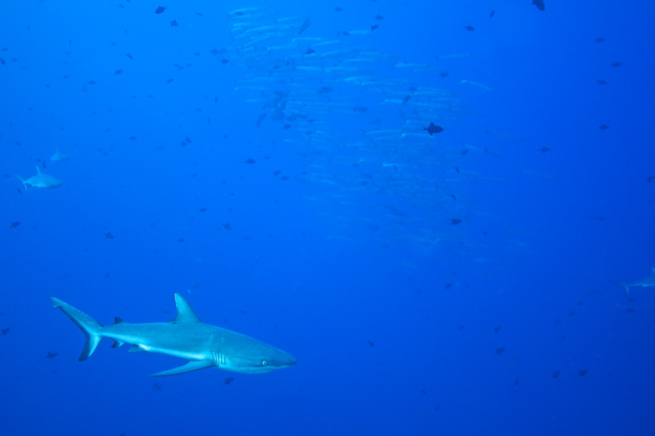 Shark & Schooling Fish