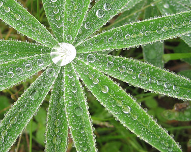 Dew on Lupine leaves. Blue Hill Me.