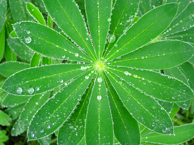 Raindrops on Lupine leaves, Blue Hill Me.