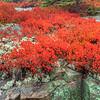 Autumn colors, Cadillac Mt. Acadia Me.