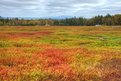 Blueberry Barrens ,Brooklin Me.