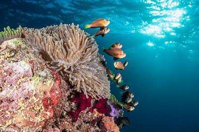 Clownfish Colony