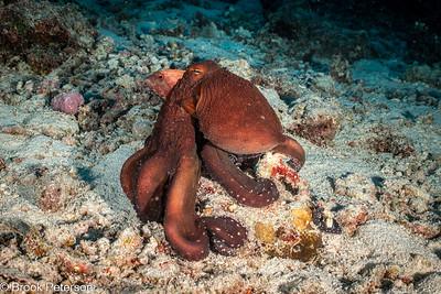 Octopus Hides Fish