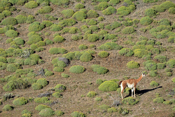 Guanaco - glaring amongst the cushion plants, in the early morning sunlight.